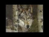 Любэ - Луна (История волка)
